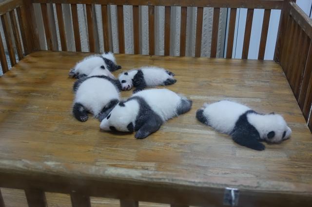 パンダの赤ちゃん(成都)