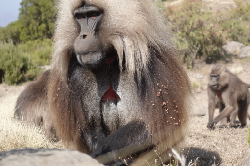 シミエン国立公園のバブーン