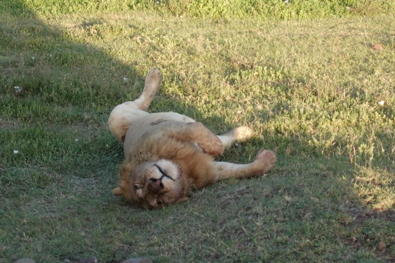 ンゴロンゴロのライオン