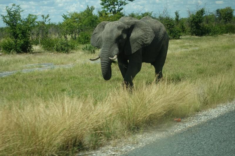 ボツワナの象